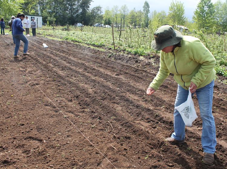 Agricultores sembraron el primer cultivo de man en for Sembrar maiz y frijol juntos