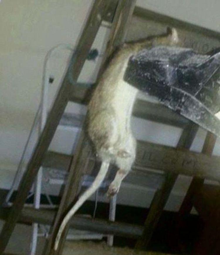 161 Aterrador Ratas Mutantes Invaden Gran Breta 241 A Soychile Cl